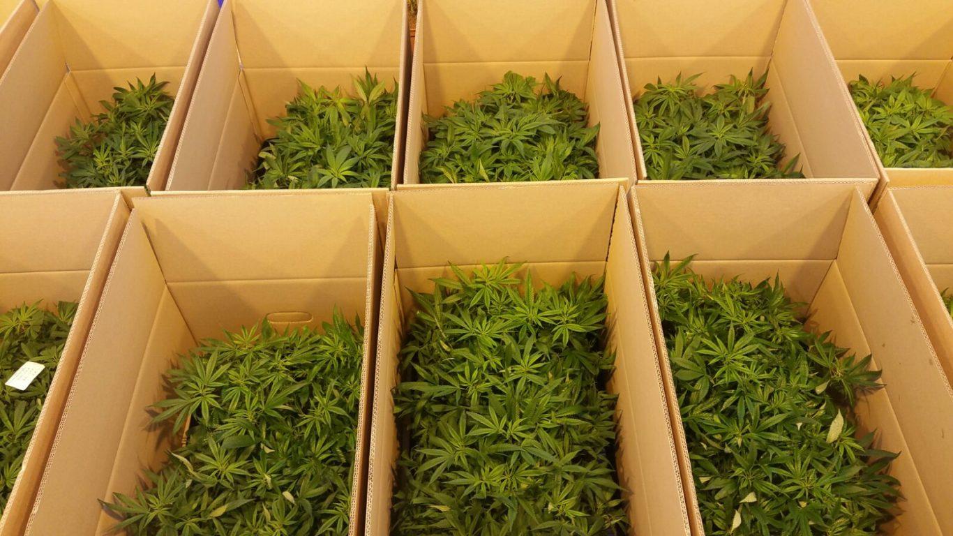 leriff-achat-en-gros-de-boutures-de-cannabis-cbd-03 Boutures de Cannabis CBD