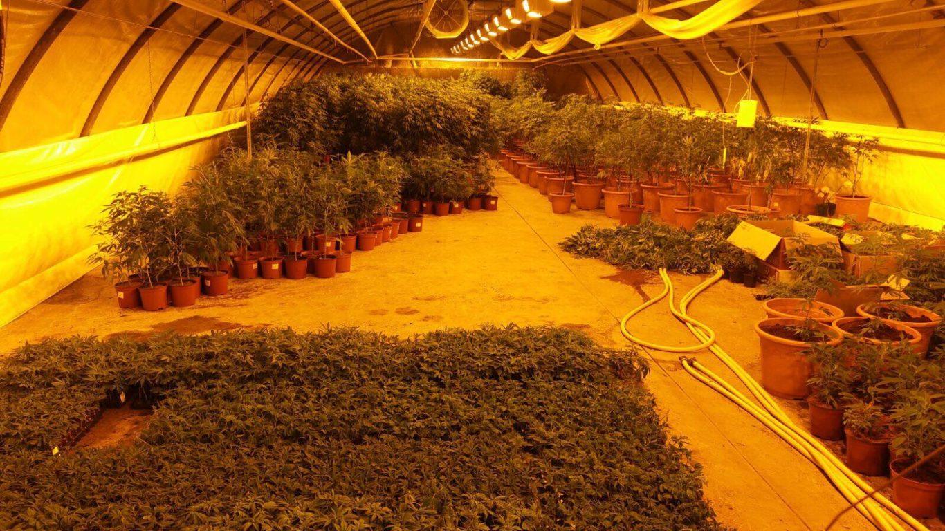 leriff-achat-en-gros-de-boutures-de-cannabis-cbd-11 Boutures de Cannabis CBD