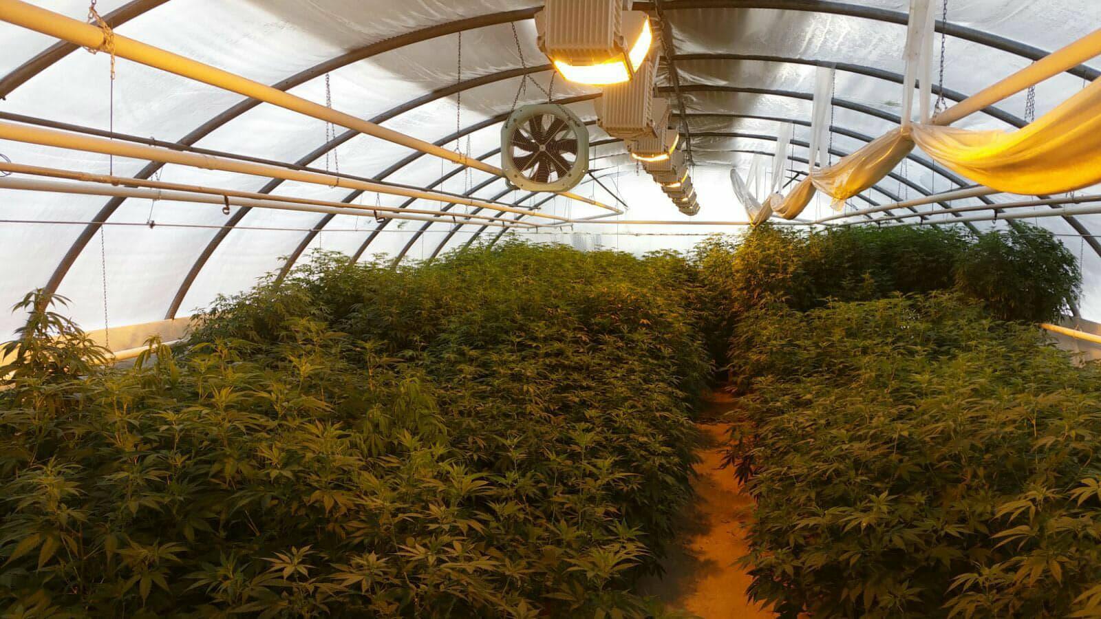 leriff-achat-en-gros-de-boutures-de-cannabis-cbd-18 Boutures de Cannabis CBD