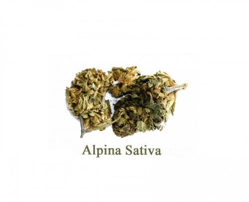 Alpina-Sativa-leriff