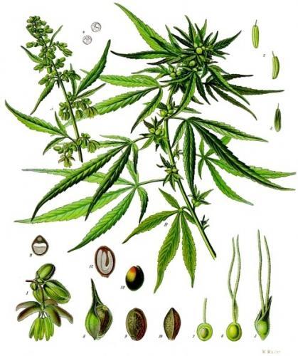 Botanique cannabis sativa