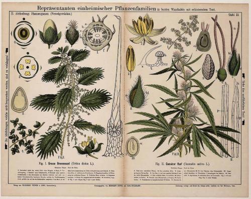 Cannabis-Sativa-LeRiff.ch-cbd-weed-marijuana-07