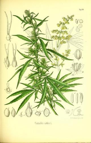 Cannabis-Sativa-LeRiff.ch-cbd-weed-marijuana-08