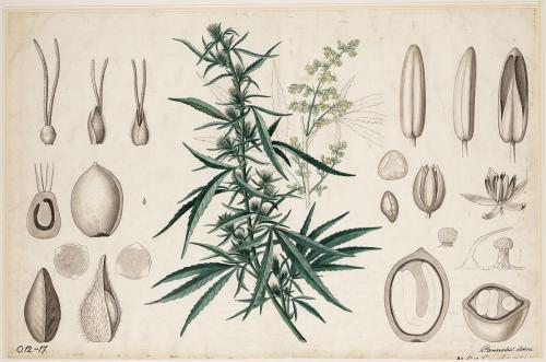 Cannabis-Sativa-LeRiff.ch-cbd-weed-marijuana-13