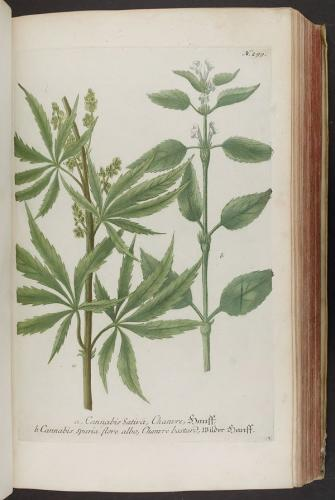 Cannabis-Sativa-LeRiff.ch-cbd-weed-marijuana-17