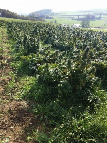 cbd-cannabis-vente-en-gros-grossistes-professionnelle-distributeurs-fournisseurs-importateurs-exportateurs-retailers-retail-hemp-stores-THC-14