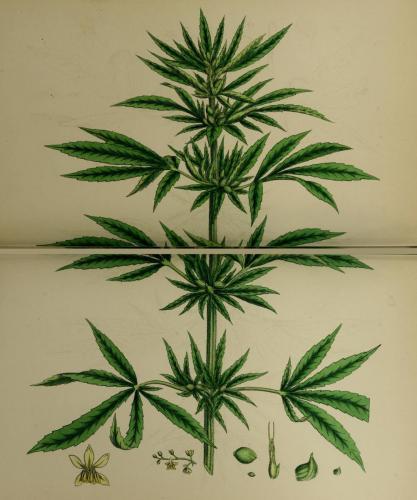 cbdsuisse-cbd-cannabisculture-cbdlife-cannabismedicinal-swisscbd-cannabis-marijuana-weed-hemp-swisscannabis-cannabislegal-swissmade-medicalmarijuana-cbdhemp-cbdhanf-swisshemp-17