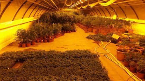 leriff-achat-en-gros-de-boutures-de-cannabis-cbd-11