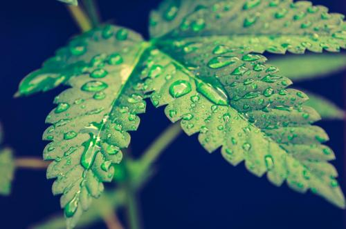 leriff-nordausud-cbd-weed-marijuana