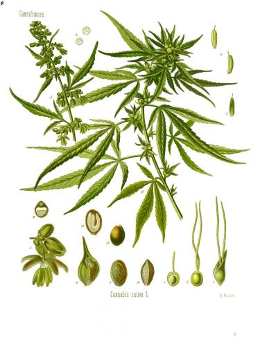 Cannabis-Sativa-LeRiff.ch-cbd-weed-marijuana-06