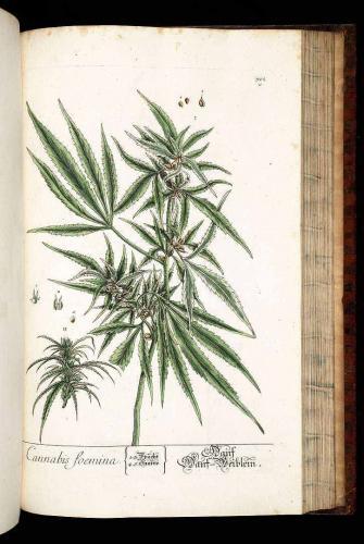 Cannabis-Sativa-LeRiff.ch-cbd-weed-marijuana-19