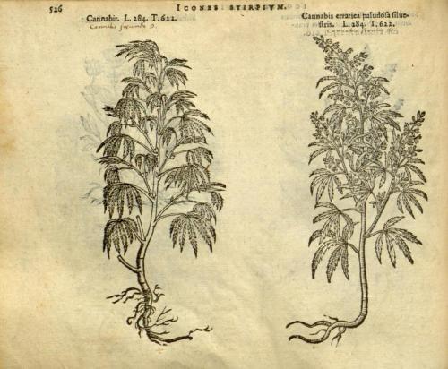 cbdsuisse-cbd-cannabisculture-cbdlife-cannabismedicinal-swisscbd-cannabis-marijuana-weed-hemp-swisscannabis-cannabislegal-swissmade-medicalmarijuana-cbdhemp-cbdhanf-swisshemp-45