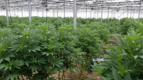 cbd-leriff-cannabis-weed-suisse-010
