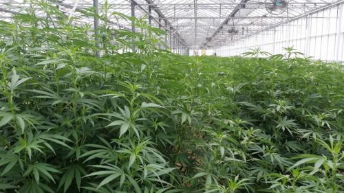 cbd-leriff-cannabis-weed-suisse-03