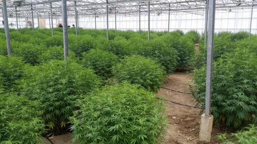 cbd-leriff-cannabis-weed-suisse-06