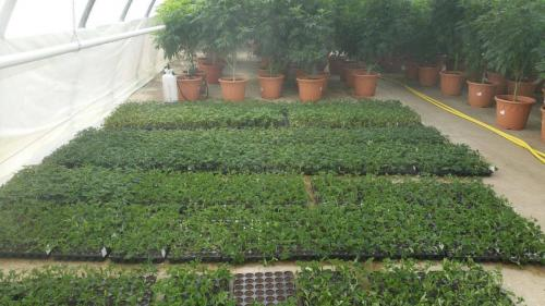 leriff-achat-en-gros-de-boutures-de-cannabis-cbd-cannabis-02