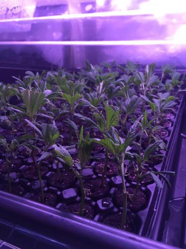 leriff-achat-en-gros-de-boutures-de-cannabis-cbd-weed-02
