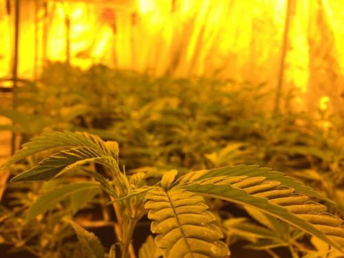 leriff-achat-en-gros-de-boutures-de-cannabis-cbd-weed-08