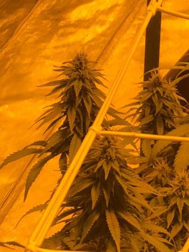 leriff-riff-Vente en Gros de CBD Suisse-Grossiste de cannabis légal-suisse-22