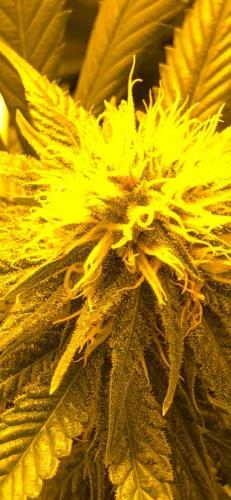 leriff-riff-Vente en Gros de CBD Suisse-Grossiste de cannabis légal-suisse-28