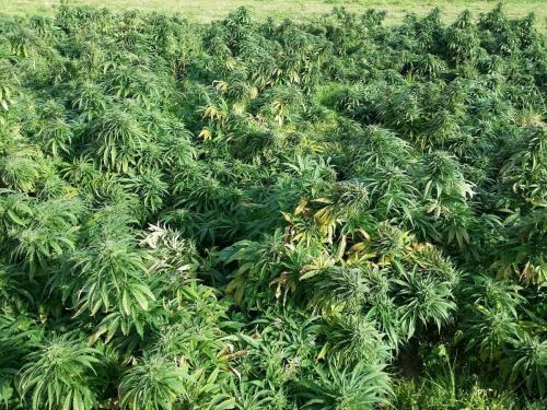 cbd-cannabis-vente-en-gros-grossistes-professionnelle-distributeurs-fournisseurs-importateurs-exportateurs-retailers-retail-hemp-stores-THC-15