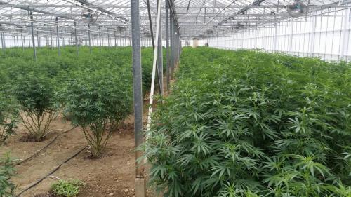 cbd-leriff-cannabis-weed-suisse-02