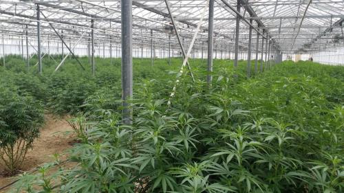cbd-leriff-cannabis-weed-suisse-04