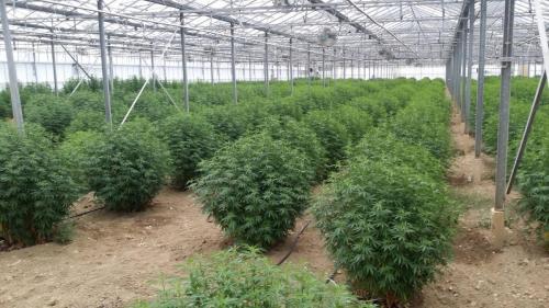 cbd-leriff-cannabis-weed-suisse-05