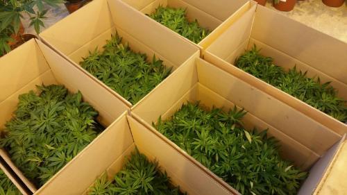 leriff-achat-en-gros-de-boutures-de-cannabis-cbd-07