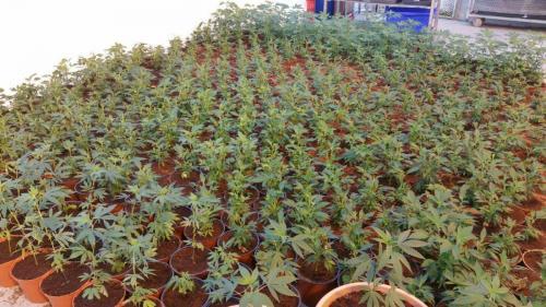 leriff-achat-en-gros-de-boutures-de-cannabis-cbd-13