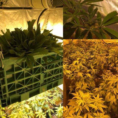 leriff-achat-en-gros-de-boutures-de-cannabis-cbd-14