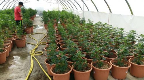 leriff-achat-en-gros-de-boutures-de-cannabis-cbd-cannabis-03