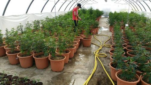 leriff-achat-en-gros-de-boutures-de-cannabis-cbd-cannabis-07