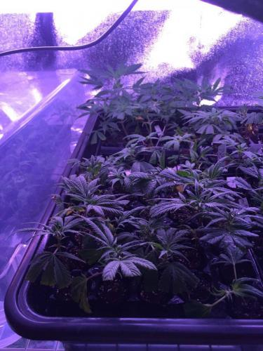 leriff-achat-en-gros-de-boutures-de-cannabis-cbd-weed-01