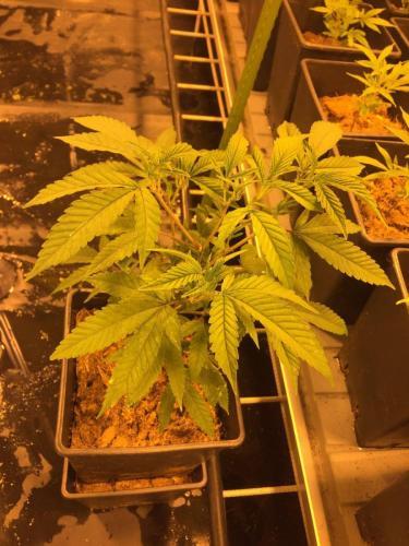 leriff-achat-en-gros-de-boutures-de-cannabis-cbd-weed-07