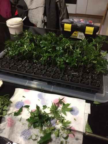 leriff-achat-en-gros-de-boutures-de-cannabis-cbd-weed-11
